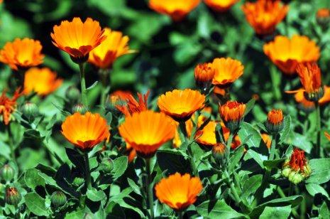 Top 5 Plante medicinale care cresc în Moldova